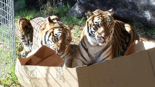 Auch große Katzen mögen Kisten
