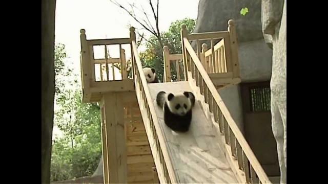 Baby Pandas auf der Rutsche