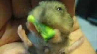 Babyhamster liebt Brokkoli