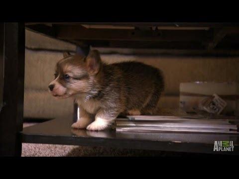 Corgi Hundebabys lernen laufen und klettern