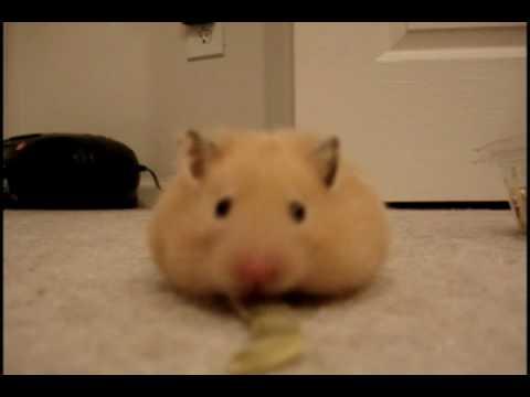 Hamster als lebender Staubsauger