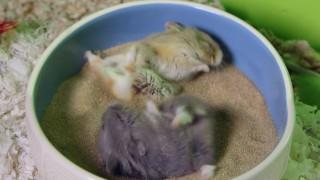Hamster lieben Sand