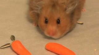 Hamster stopft sich voll