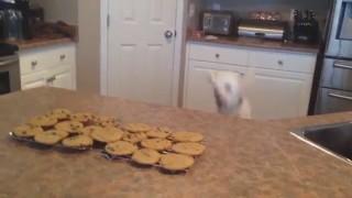Hund möchte unbedingt zu den Keksen