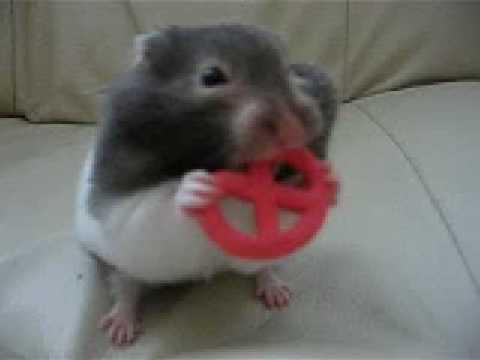 Baby Hamster knabbert Brezel