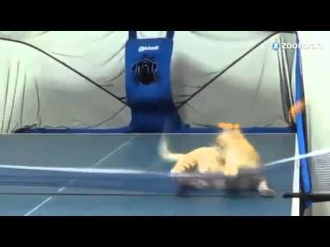 Ping Pong spielende Katze