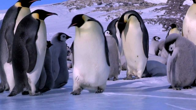 Pinguine stolpern, fallen, rutschen – und nichts passiert