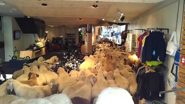 Schafe im Kaufhaus