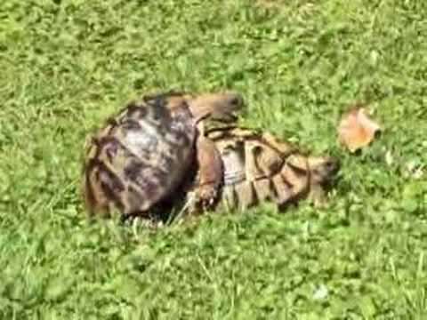 Schildkröten Liebesunfall (mit Flucht)