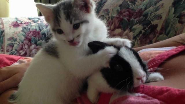 Süßes Kätzchen putzt Kaninchen