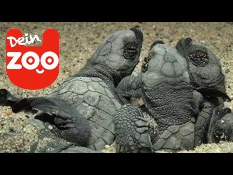 Zehntausende süße Baby Schildkröten am Strand